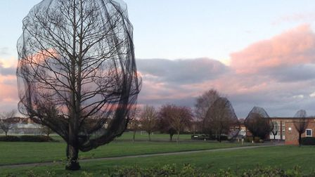 Ely school criticised over tree netting to stop nesting birds. Picture: ELAINE EWART