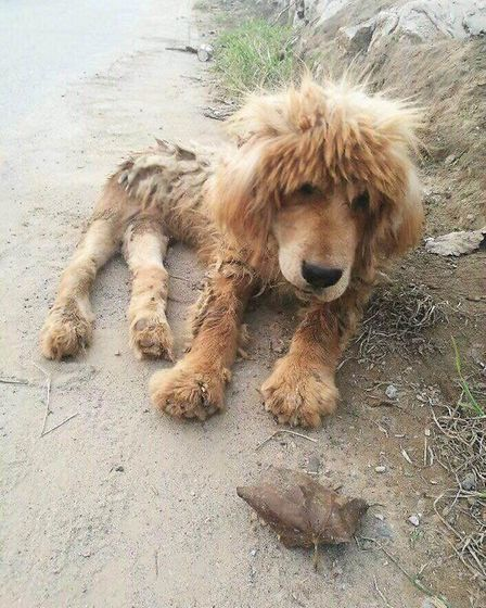 Elsa the Tibetan Mastif is on a journey to recovery after she was rescued by De Randall of the Edwar