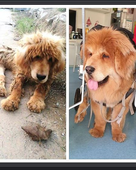 Elsa before and after. She was dumped on the side of the road in Beijing wiht paralysed back legs. S