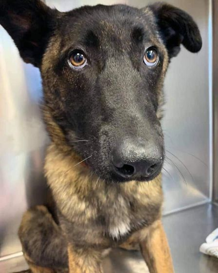 Security dog Beau from March swallows padlock to kennel as owner finds key' in her mouth. Picture: M