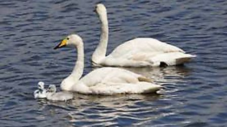 Whooper swans hatched from injured resident birds at Welney Wetland Centre have been snapped heading