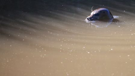 Mick Jeffryes spotted this seal on the River Nene near Guyhirn at around 7.50am today (Monday July 1
