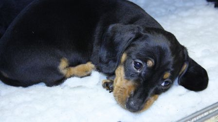 The Kennel Club is warning against impulsive puppy buying Picture: JOY GONZSOR/THE KENNEL CLUB