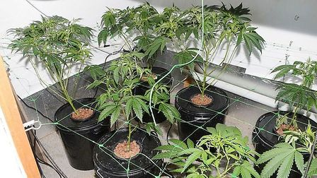 A haul of cannabis plants were discovered by police in a field between Wicken and Stretham. Picture:
