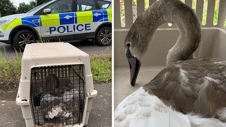 Police have rescued a swan from the A47 Thorney Bypass following a Hot Fuzz style pursuit. Picture: