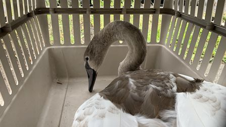 Police have rescued a swan from the A47 Thorney Bypass following a 'Hot Fuzz style' pursuit. Picture