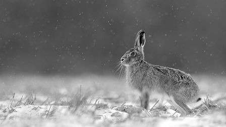 Some of the entries in Ely Photographic Club's Ken Hitch competition this year: Hare in Snowstorm by