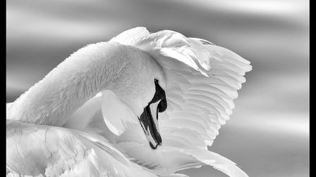 Some of the entries in Ely Photographic Clubs Ken Hitch competition this year: Mute Swan At Welnet W