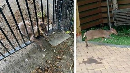 Mark Twigg worked to rescue this Muntjac deer trapped in the gates of his Whittlesey home, Picture: