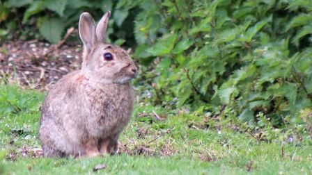 Chatteris photographer and postman Martyn Jolley's photo of a bunny. Picture: MARTYN JOLLEY