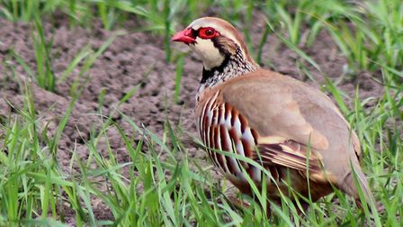 Chatteris postman and photographer Martyn Jolley's photo of a red-legged partridge. Picture: MARTYN