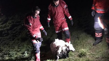 Several curious sheep had to be repeatedly rescued by Cambs Fire crews after they got stuck in the m