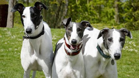 The Mildenhall branch of the Greyhound Trust which homes retired racing dogs in East Cambridgeshire,