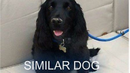 """Woman, 90, """"distraught"""" after theft of black cocker spaniel from her kennel in Station Road, Stow cu"""