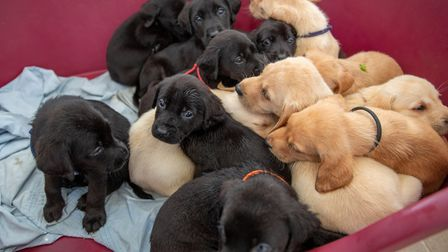 Six-year-old Bella gave birth to 14 puppies in April in what is believed to be the biggest labrador