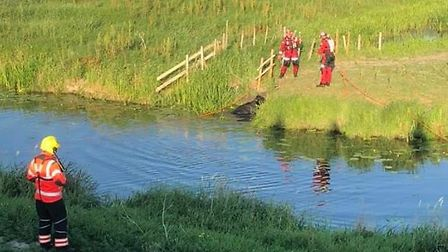 Firefighters were called to rescue a calf stuck in the river in Mepal yesterday afternoon (Monday Ju