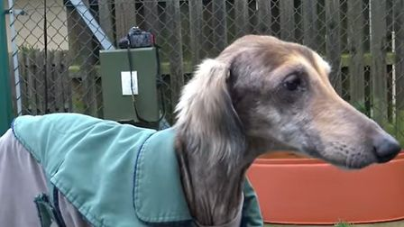 """Harry the lurcher was rescued by Wood Green Animals Charity after being found abandoned in Soham """"in"""