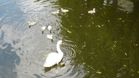Marina Pugh took these photos of this year's cygnets.