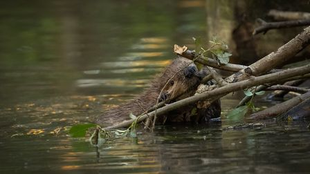 A kit (baby beaver) chomping away. Photo: Russell Savory.