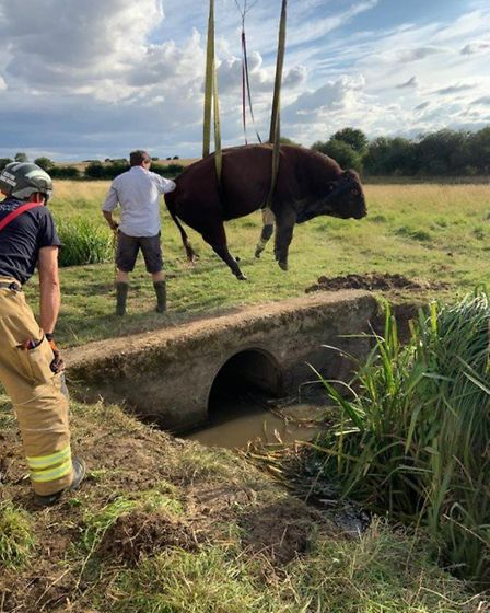 A 1,000kg bull was rescued from a ditch in Hatfield Broad Oak. Picture: Essex County Fire and Rescue