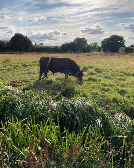 A bull after the rescue in Hatfield Broad Oak. Picture: Essex County Fire and Rescue Service