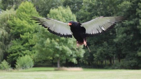 The lost Bateleur Eagle called Moscato which may be the large bird spotted in Essex. Picture: The In