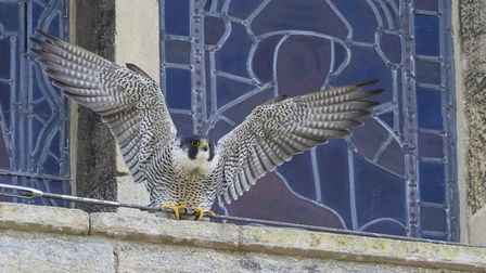 Visitors have been flocking to Ely Cathedral this summer to try and catch a glimpse of the peregrine