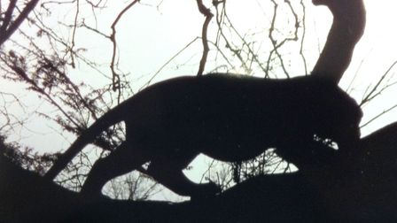 Could this be Fen Tiger? Spotted in Wisbech in 2013. Picture: Archant/Archive