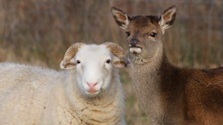 A little red deer has been living with a flock of sheep on Dunwich Heath. EADT 17.1.13