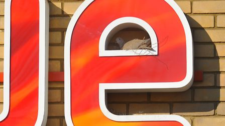 Room with a view. Collared doves nest building in the 'e' of the Vue cinemas sign on Farmers Avenue,