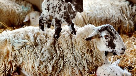 Lambing weekend at Easton College - Spring must be just around the corner. Photo: Bill Smith