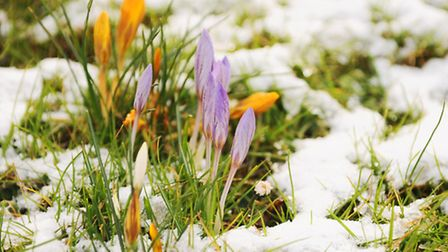Spring crocuses nestled in the snow and sunshine on the Dereham Road verge. Picture: Denise Bradley