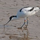 An avocet ringed at RSPB Titchwell in 1990 has returned to north Norfolk at the age of 23.