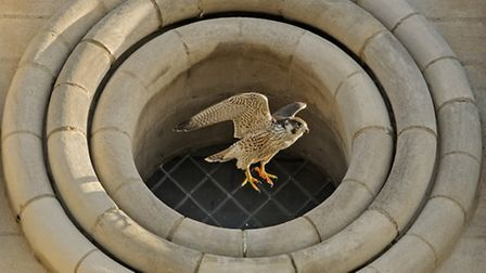 A male peregrine falcon at Norwich Cathedral. Photo by Andy Thompson