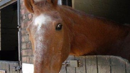 Rory the horse, aged 30, at Croft Farm Riding Centre in Filby. Photo by Peta Charman.