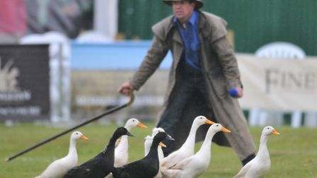 Nice weather for ducks at the East Anglian Game and Country Fair 2012 at the Showground. Photo: Stev