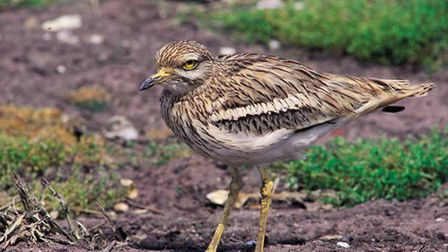 Stone curlew. Pic by RSPB