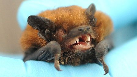A soprano pipistrelle bat rescued and cared for by Jane Harris, consultant ecologist. Picture: Denis