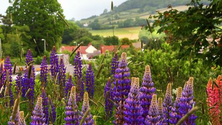 Peasland's Knapp new gate and entrance way. Wild Lupins on Knapp Hill, Sidmouth. Picture by Alex Wal