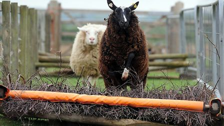 Sheep at Bircham Windmill are taking part in races on Bank Holiday Monday. Picture: Matthew Usher.