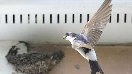 House martins nest-building. Pic by Doug Welch/BTO