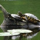 Terrapins at Bystock reserve pool near Exmouth. Picture by Simon Horn