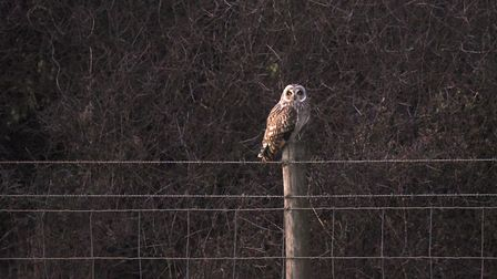 A short eared owl spotted on Exmouth clifftops. Picture: Luke Hopkins