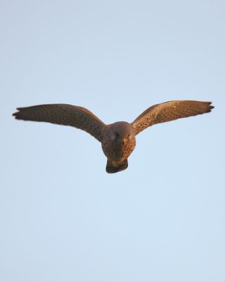 A kestrel hunting on Exmouth clifftops. Picture: Luke Hopkins