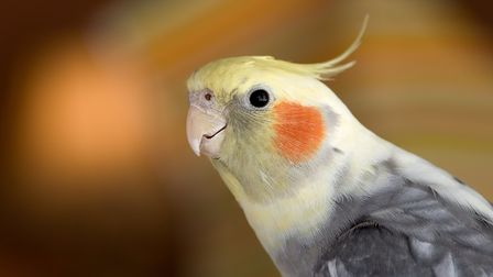 Pepe the cockatiel (stock image) is missing in Exmouth - have you seen him? Picture: Getty Images