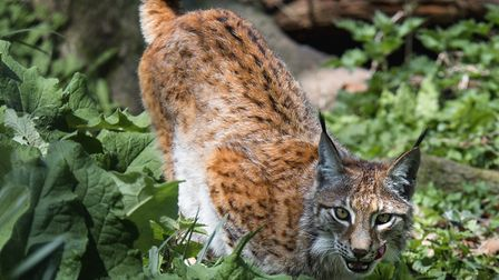 One of the two lynx. Picture: Wildwood Escot