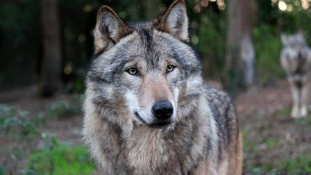 One of the grey wolves, Picture: Wildwood Escot