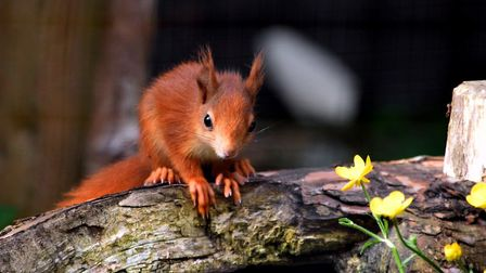 A red squirrel with its distnctive tufted ears. Picture: Wildwood Escot