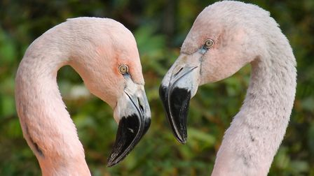 Flamingoes at Axe Valley Wildlife Park. Picture: Axe Valley Wildlife Park