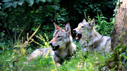 Two of the wolves. Picture: Wildwood Escot